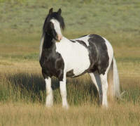 Apple, imported Gypsy Vanner Horse mare