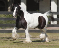 King's Kaulo Ratti, 1996 imported Gypsy Vanner Horse mare