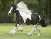 GG Sometimes A Lady, 2008 Gypsy Vanner Horse filly