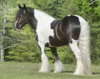 Latcho's Heavenly Rose, 2008 Gypsy Vanner Horse mare