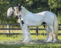 William's Moonflower, 2013 Gypsy Vanner Horse filly