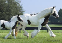 Sera and Sanibel, 2003 imported Gypsy Vanner Horse mare and her 2006 filly
