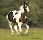 Cushti Bok's Perfect Storm, Gypsy Vanner Horse colt