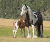Blue Eyed Mare, 2003 imported Gypsy Vanner Horse mare