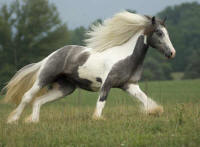 Silver Pearl, 2005 imported Gypsy Vanner Horse mare