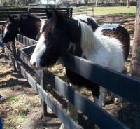 Birthday Girl, 10-month-old Gypsy Vanner Horse filly