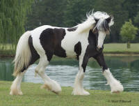 BPF Kamila, 2007 Gypsy Vanner Horse filly