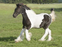 WR Silver Cloud, 2009 Gypsy Vanner Horse colt
