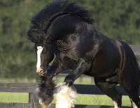 BB King, Gypsy Vanner Horse stallion