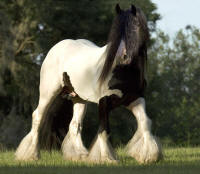 The Gypsy King, 1992 imported Gypsy Vanner Horse stallion