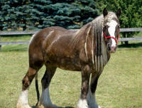Apple Acre Sorcha, 2005 Gypsy Vanner Horse mare