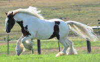 WHF Acorn, 2007 imported Gypsy Vanner Horse mare