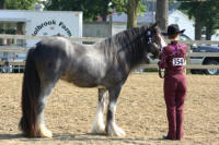 Aisli, 2004 imported Gypsy Vanner Horse mare