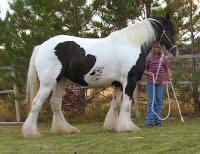 Aisling, imported Gypsy Vanner Horse mare