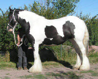 Aisling, 2001 imported Gypsy Vanner Horse mare