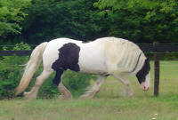 Angel, 2001 imported Gypsy Vanner Horse mare
