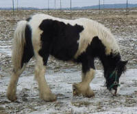 Annabelle grazing, 2003 imported Gypsy Vanner Horse mare