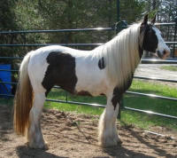 Anticipation N'CO, 2006 Gypsy Vanner Horse filly