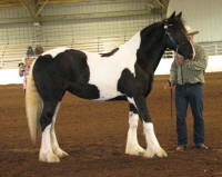 WR Annie Rose, 2011 Gypsy Vanner Horse filly