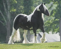 Summer's Annie Rose, 2001 imported Gypsy Vanner Horse mare