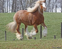 Anum Cara, 2005 imported Gypsy Vanner Horse mare