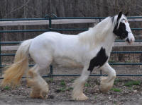 N'Co Mr. Bikers April Showers, 2011 Gypsy Vanner Horse mare