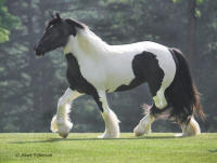 WR April Rose, 2006 Gypsy Vanner Horse mare