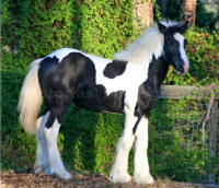 Aria, 2006 Gypsy Vanner Horse filly