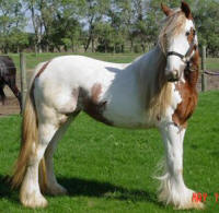 MS Arieal of Feathered Gold, Gypsy Vanner Horse mare