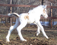 Feathered Gold Avalanche, 2008 Gypsy Vanner Horse colt