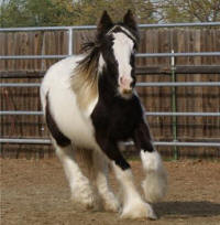 Talithia, 2008 Gypsy Vanner Horse mare