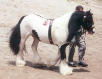 Gypsy King in harness