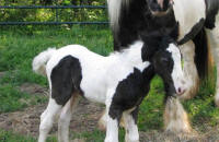 Baby Bat, 2011 Gypsy Vanner horse filly