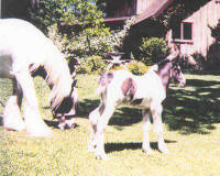 Razzle, Gypsy Vanner Horse filly