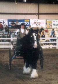 Bandit, imoprted Gypsy Vanner Horse gelding at the EA in MA 2003