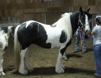 Banquet, 2006 imported Gypsy Vanner Horse mare