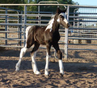 Beauty, 2007 Gypsy Vanner Horse filly