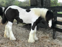 GG Big's Birthday Girl aka Bee Gee, 2017 Gypsy Vanner Horse filly