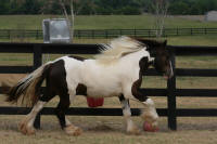 GG Bella, 2006 Gypsy Vanner Horse filly
