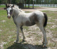 BHGV Bella, 2008 Gypsy Vanner Horse filly