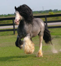 Bellagio, imported Gypsy Vanner Horse stallion