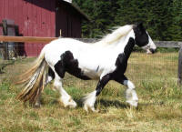 Betty Jean, 2006 Gypsy Vanner Horse mare