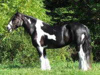 Bianca, 2004 imported Gypsy Vanner Horse mare