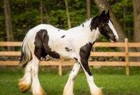 GG Big & Rich, 2016 Gypsy Vanner Horse colt