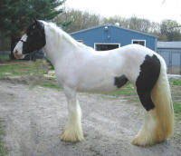 N'Co The Biker Babe, 2008 Gypsy Vanner Horse filly
