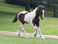 SWF Blue Iris, 2012 Gypsy Vanner Horse filly