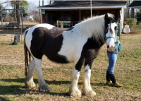BPF Once In A Blue Moon, 2007 Gypsy Vanner Horse mare