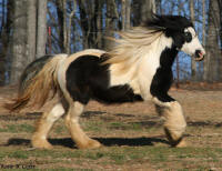 Latcho's Blue, 2005 Gypsy Vanner Horse mare