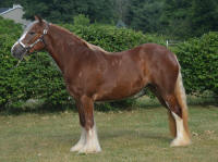 Blush N'Co, 2014 Gypsy Vanner Horse filly