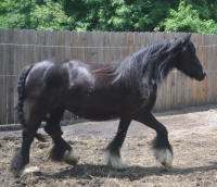 Westmoreland Bobby's Girl, 2009 Gypsy Vanner Horse mare